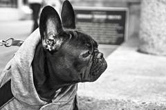 bulldog-238514_1920